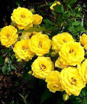 Роза бордюрная Голд Беби