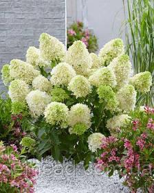 Гортензия метельчатая Литл Спуки \ Hydrangea paniculata Little Spooky ( саженцы 3 года) Новинка