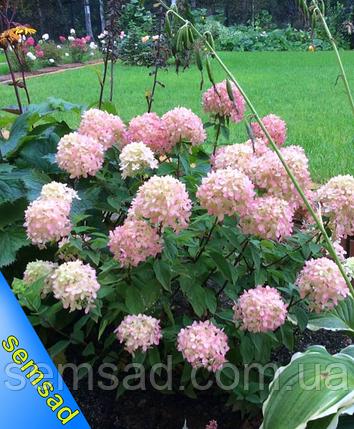 """Гортензия метельчатая """" Бомбшейл"""" \ hydrangea paniculata bombshell ( саженцы 3 года), фото 2"""