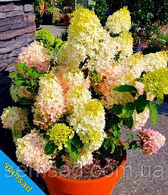 Гортензия метельчатая Ливинг Литл Блоссом \ Hydrangea paniculata Living Little Bloss ( саженцы 3 года) Новинка
