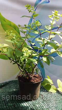Гортензия метельчатая Ванила Страуберри \ Hydrangea paniculata Vanilla Strawberry  ( саженцы 3 года) Новинка, фото 2