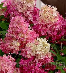 Гортензия метельчатая Ванила Страуберри \ Hydrangea paniculata Vanilla Strawberry  ( саженцы 3 года) Новинка