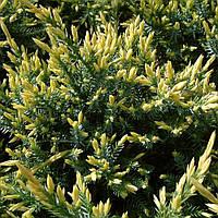 Можжевельник штамбовый чешуйчатый Холгер (Juniperus squamata Holger)