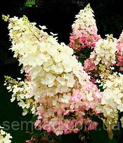 Гортензия метельчатая Вайт Моз \ Hydrangea  'White Moth' ( саженцы 3 года) Новинка