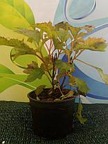 Гортензия дуболистная Сноу Квин \  Hydrangea quercifolia Snow Queen ( саженцы 2 года), фото 3