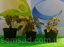 Гортензия дуболистная Сноу Квин \  Hydrangea quercifolia Snow Queen ( саженцы 2 года), фото 2