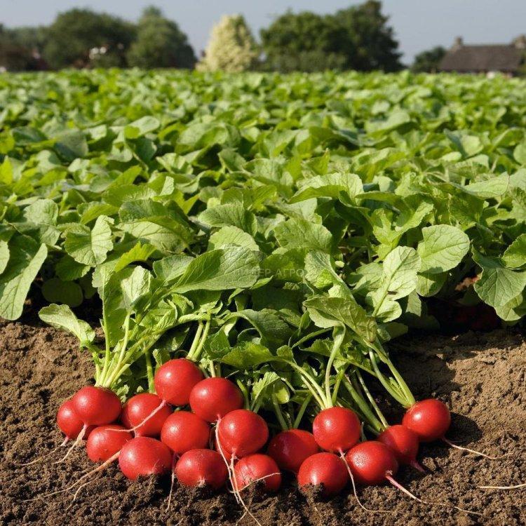 Семена редиса Роксан F1, Bejo 50 000 семян (2.50-2.75) | профессиональные