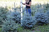 """Ель колючая """"Picea pungens"""" 1,0 м."""