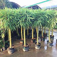 10 семян Бамбука бонсай  / Насіння Бамбука бонсай 10 штук / Бамбук