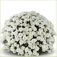 Хризантема Аксима белая Черенок 2-5 см. Отгрузка - май / июнь 2020 г