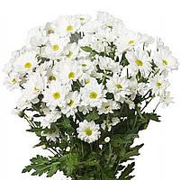Хризантема Амазонка белая Черенок 2-5 см. Отгрузка - май / июнь 2020 г