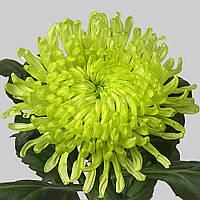 Хризантема Анастасия зеленая Черенок 2-5 см. Отгрузка - май / июнь 2020 г