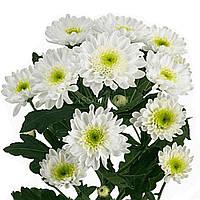 Хризантема Балтика белая  Черенок 2-5 см. Отгрузка - май / июнь 2020 г