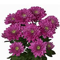 Хризантема Балтика розовая Черенок 2-5 см. Отгрузка - май / июнь 2020 г