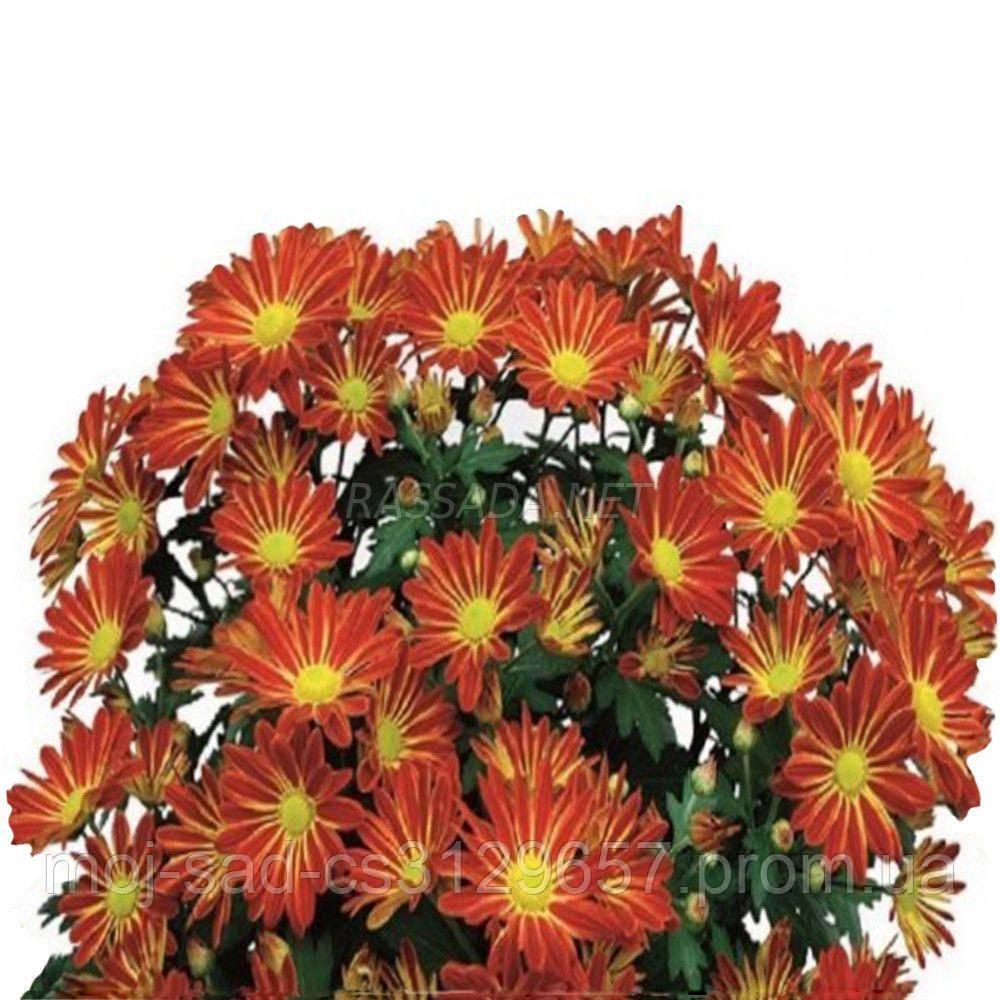 Хризантема Батон Роуз красно-жёлтая Черенок 2-5 см. Отгрузка - май / июнь 2020 г