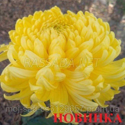 Хризантема Бислет желтая Черенок 2-5 см. Отгрузка - май / июнь 2020 г