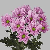 Хризантема Гранд Пинк Черенок 2-5 см. Отгрузка - май / июнь 2020 г