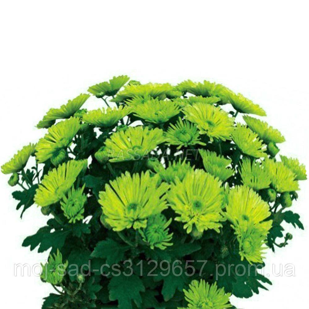 Хризантема Грин Валей зелёная Черенок 2-5 см. Отгрузка - май / июнь 2020 г