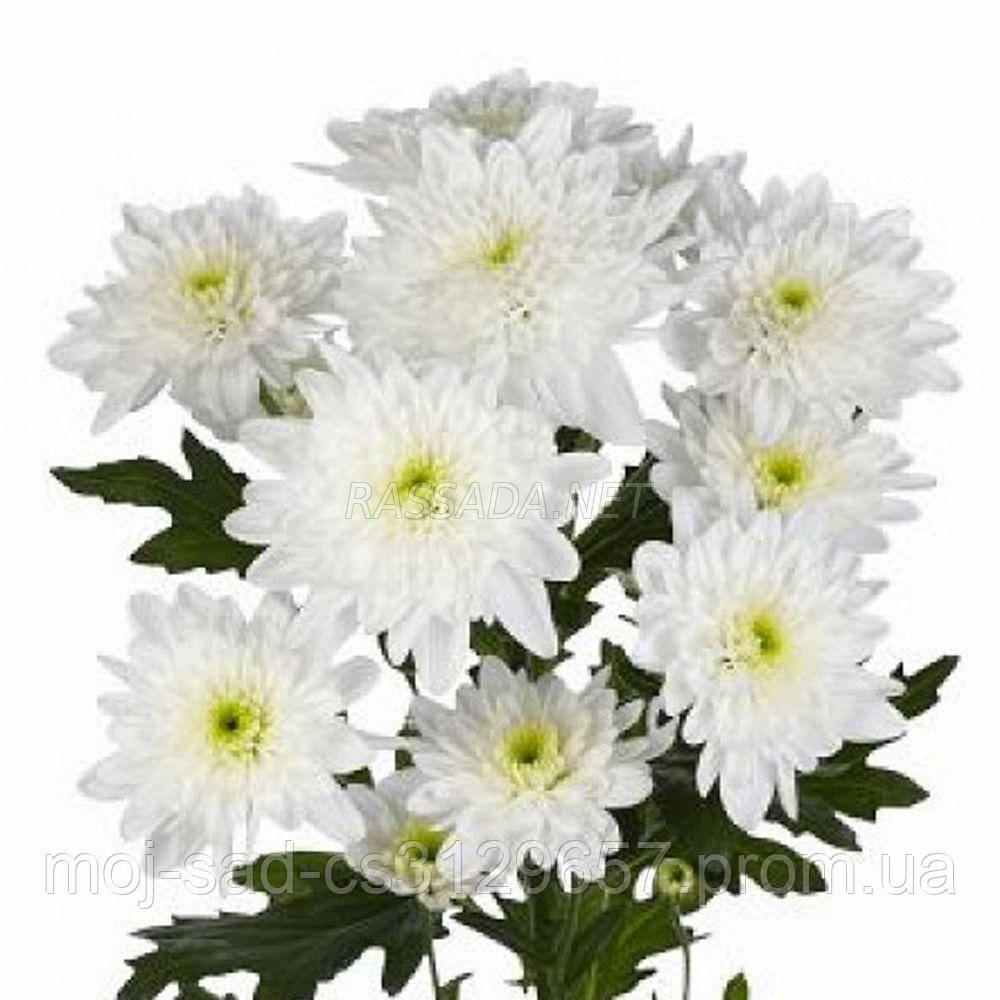 Хризантема Зембла белая Черенок 2-5 см. Отгрузка - май / июнь 2020 г