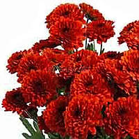 Хризантема Лекси красная Черенок 2-5 см. Отгрузка - май / июнь 2020 г