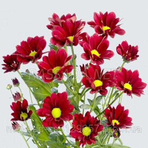 Хризантема Проминент красная Черенок 2-5 см. Отгрузка - май / июнь 2020 г
