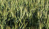 Озимая пшеница АРТЕМИСИЯ (суперелита) ВНИС самовывоз, фото 2