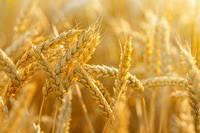 Основи технологій високої продуктивності пшениці озимої