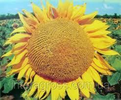 Купить Семена подсолнечника ЛГ 59580