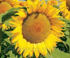 Купить Семена подсолнечника ЛГ 50505
