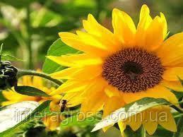 Купить Семена подсолнечника ЛГ 50585