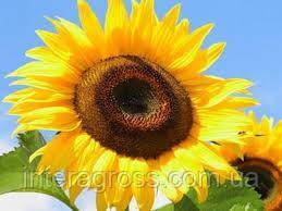 Купить Семена подсолнечника ЛГ 5555 КЛП