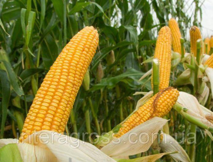 Купить насіння кукурудзи СІ Скорпіо