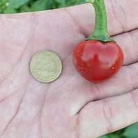 Семена горького перца Глобус F1, Lark Seeds 500 семян | профессиональные