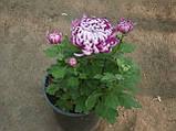 Маточник хризантема Cosmo Purple (Космо Перпле), фото 5