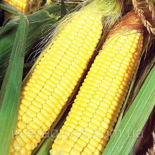 Купить насіння кукурудзи Пандорас