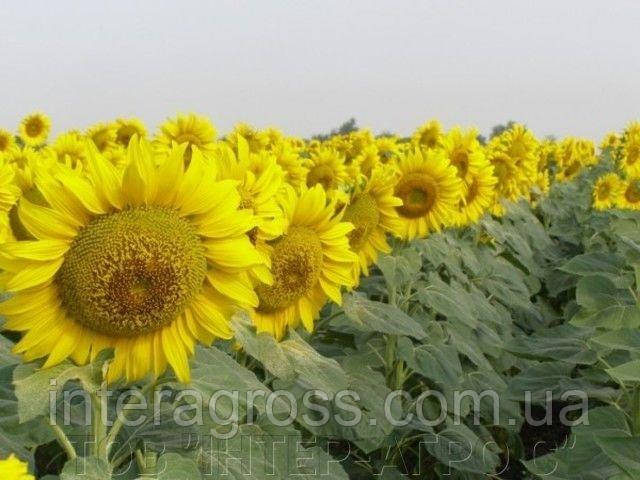 Купить Насіння соняшнику СИ Ласкала