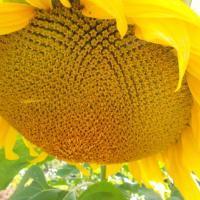 Купить насіння соняшника Сузука
