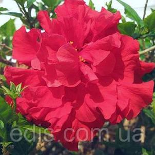 Гібіскус китайський малиновий махровий Кімнатна рослина, фото 2