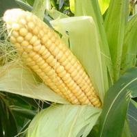 Купить насіння кукурудзи Мас 28 А