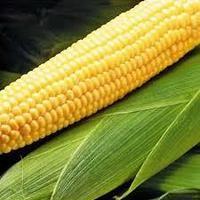 Купить насіння кукурудзи Mas 40 F