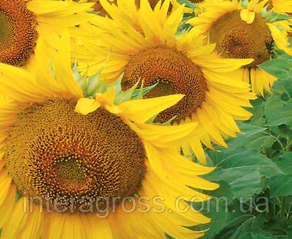 Купить насіння соняшника Мас 89