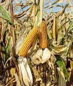 Купити насіння кукурудзи ЄС Кроссман