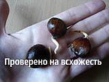 Семена каштан съедобный (3-8 грамм) 10 штук Castánea satíva посевной, орехи для саженцев + инструкции, фото 3