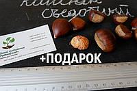 Каштан съедобный семена (8-10 грамм) 10 шт (Castánea satíva, посевной) для саженцев насіння на саджанці, фото 1