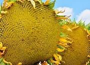 Купить насіння соняшника  ЕС Ароматік