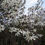 Магнолия кобус семена 10 шт (Magnolia kobus) для саженцев насіння магнолія на саджанці, фото 5
