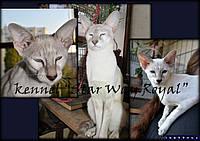 Сиамо-ориентальныех котята