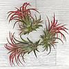 Тилландсия Ионанта красная (Tillandsia Ionantha Red) с детками, фото 3