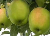 Саженцы яблони Снежный кальвиль