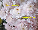 Хризантема гілкова Медея, фото 3